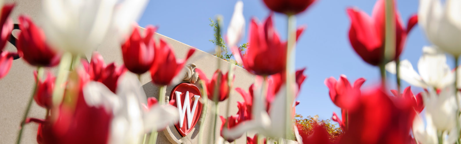 W crest seen through red tulips